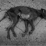 Slain dog on a Spanish country road.