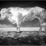 Cow in Infrared. Belgian Ardennes.