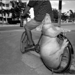 A pig's last day, kept drunk and tied onto a cycle. Cuba.